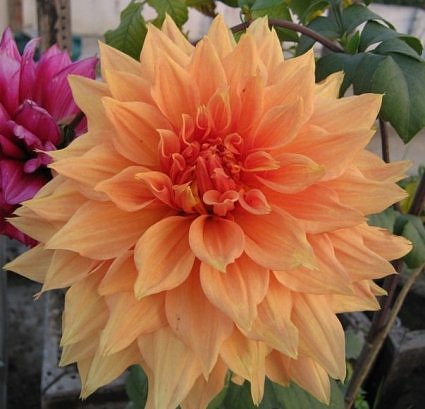 Giant Dahlia in Lucknow garden