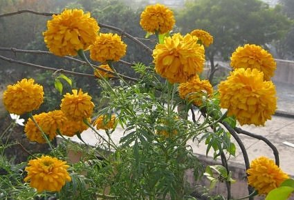 Giant marigold in Lucknow, India