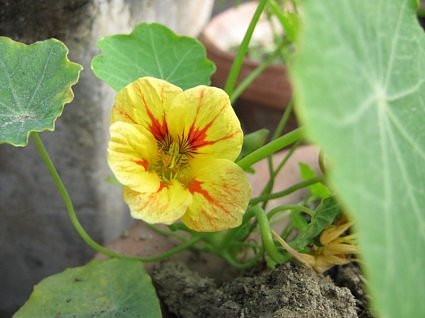 Yellow Nasturtium in Lucknow garden India