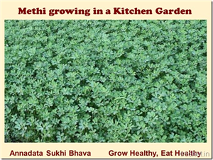 How to Grow Methi in a Pot?