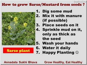 How to Grow Mustard in a Pot?